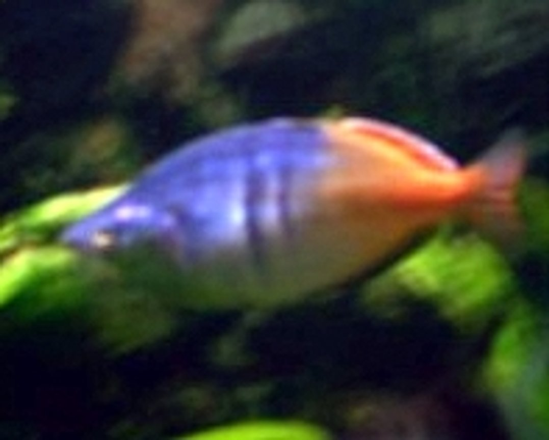 freshwater fish - hyphessobrycon colimbianus - red/blue columbian tetra stocking in 85 gallons tank - .