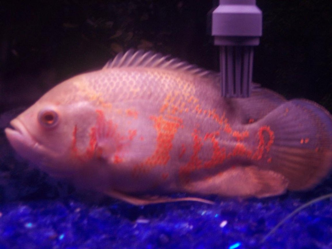 freshwater fish - astronotus ocellatus - tiger oscar stocking in 55 gallons tank - Big Poppa, albino tiger oscar