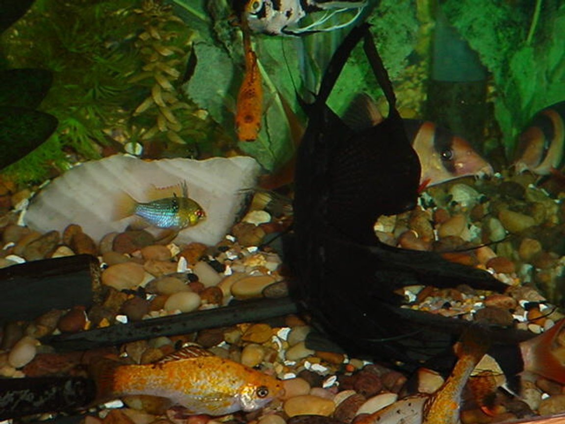 freshwater fish - papiliochromis ramirezi - german gold ram stocking in 125 gallons tank - That little ram is sure being nosey!