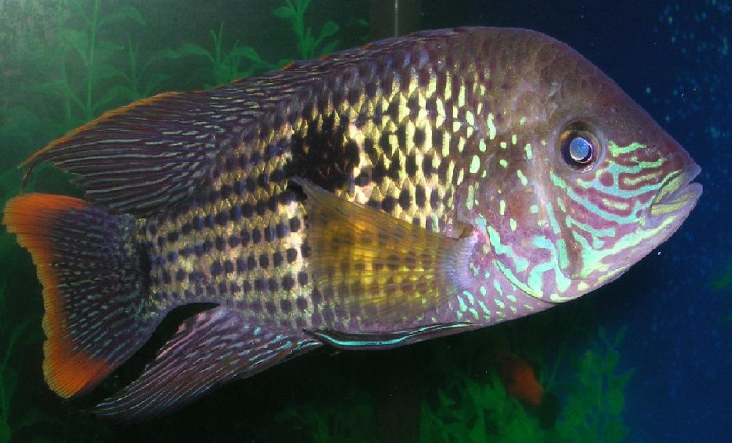 freshwater fish - aequidens rivulatus - green terror stocking in 55 gallons tank - Another pic of my green terror...This fish is a great cichlid to have....