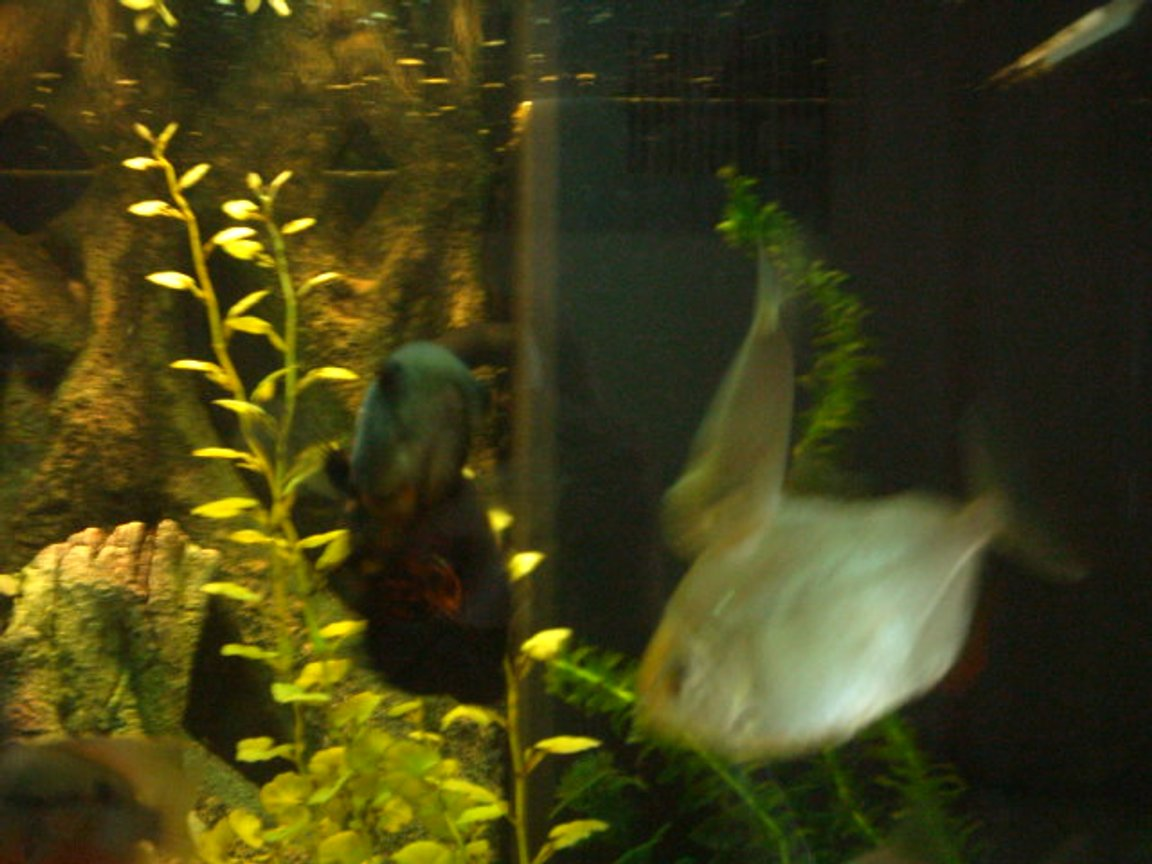 freshwater fish - metynnis argenteus - silver dollar stocking in 66 gallons tank - my silver dollars and black oscar