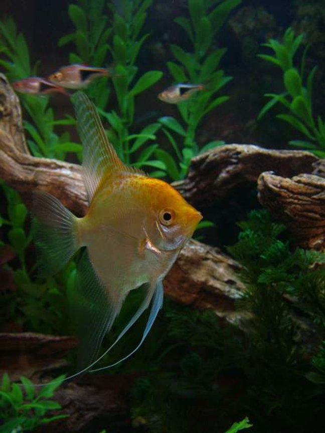 freshwater fish - pterophyllum sp. - albino angel stocking in 46 gallons tank - Golden Angelfish--a few Harlequin Rasboras in the background....