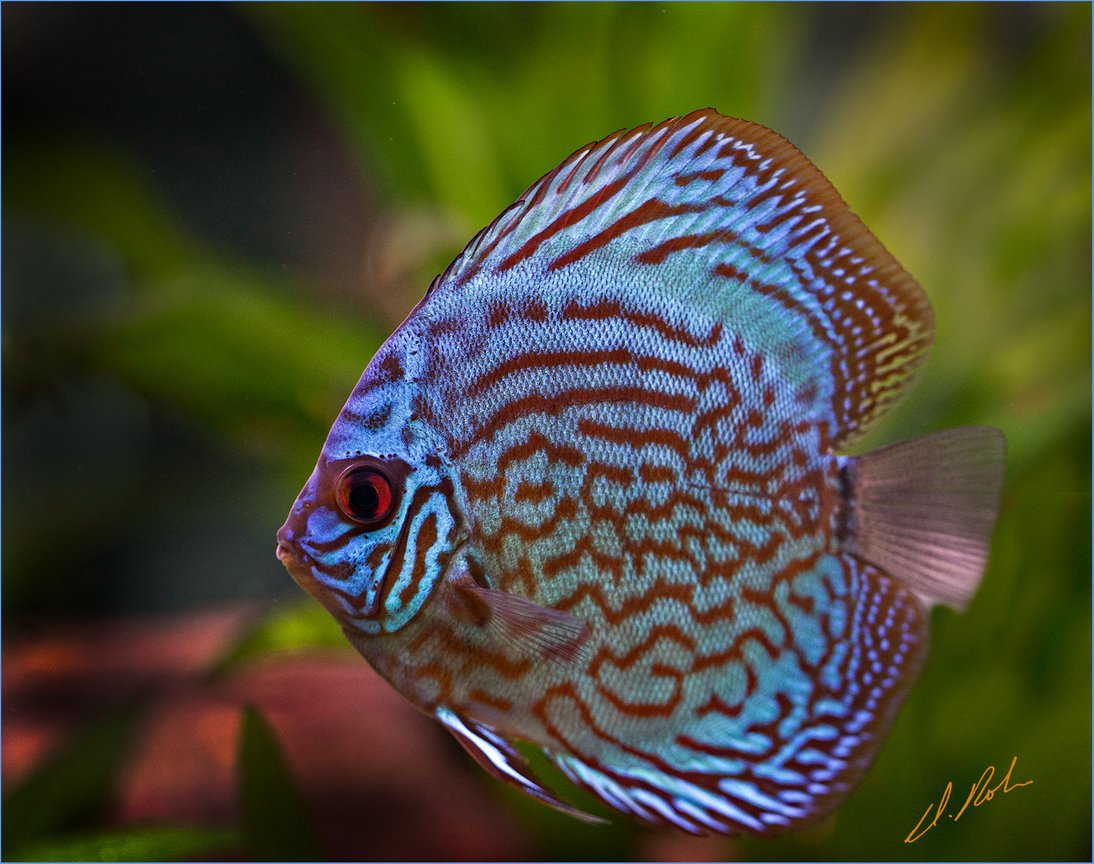 freshwater fish - symphysodon aequifasciatus - royal blue discus stocking in 180 gallons tank - New Royal Blue Discus, a very aggresive littel guy in teh 180 Gallon Community tank