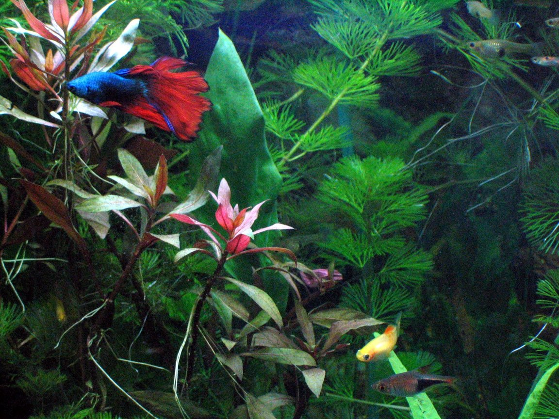 freshwater fish - betta splendens - betta - male stocking in 125 gallons tank - Here is my planted 20 gallon Xhigh. Betta Splendid blue is the star here. Family includes platy, Tetras, catfish and Loaches