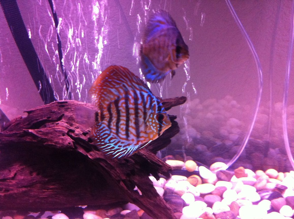 freshwater fish - symphysodon sp. - checkerboard discus stocking in 50 gallons tank - Discus