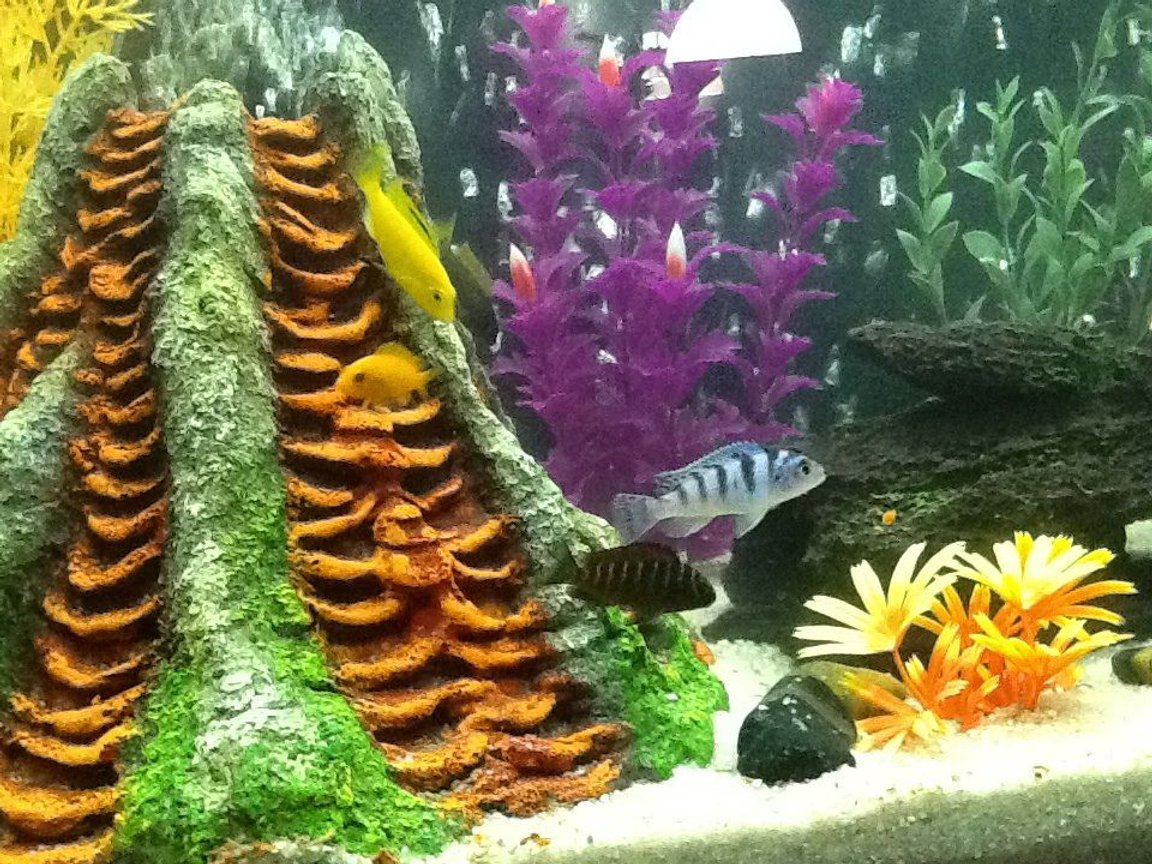 freshwater fish - metriaclima lombardoi - kenyi cichlid stocking in 30 gallons tank - Tank 2 ... 7. Mix of kinds of African cichlids and 3 oscars 1 crawfish and 2 plecostomus