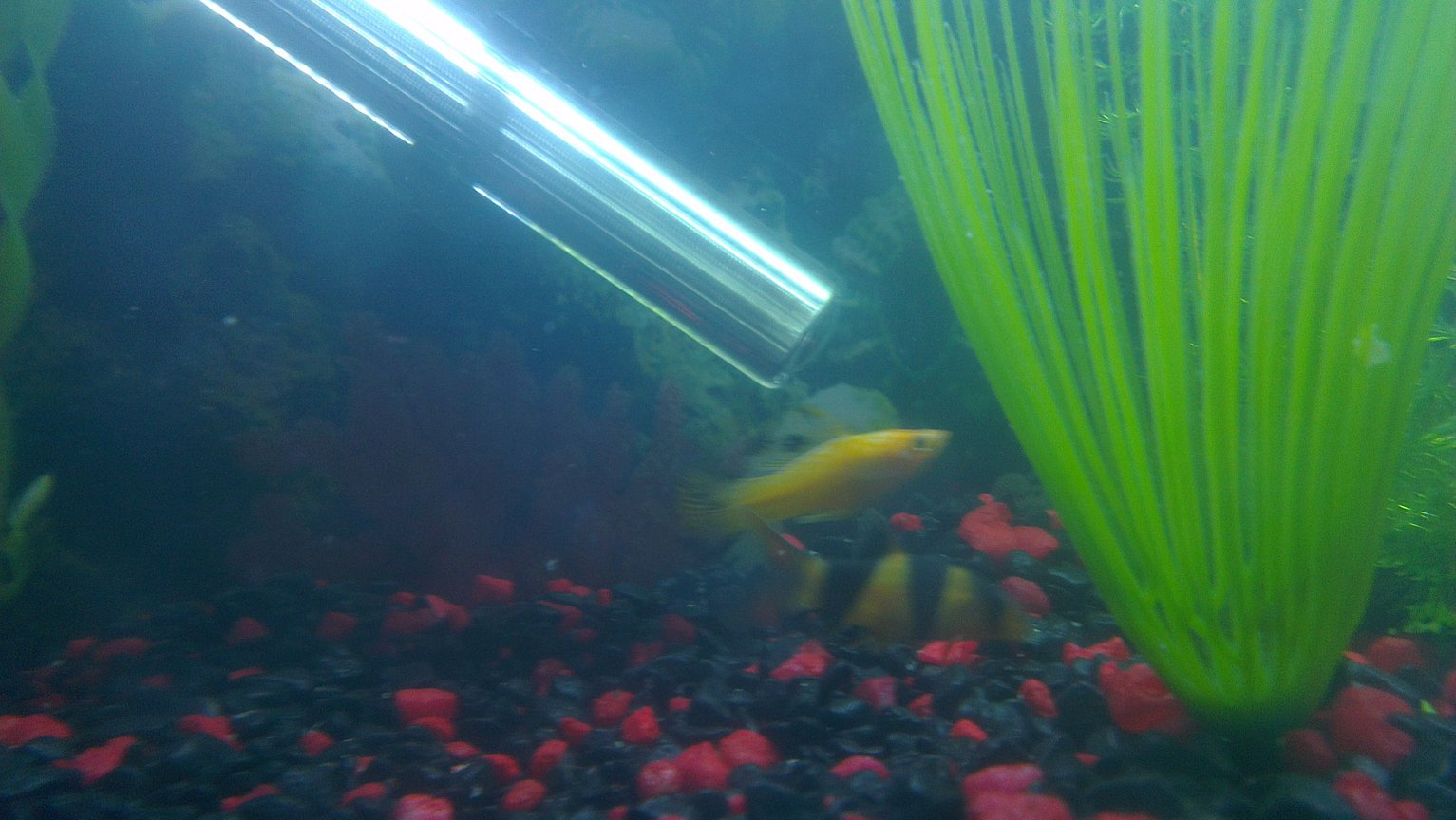 freshwater fish - poecilia sphenops - gold dust molly stocking in 45 gallons tank - Male Molly