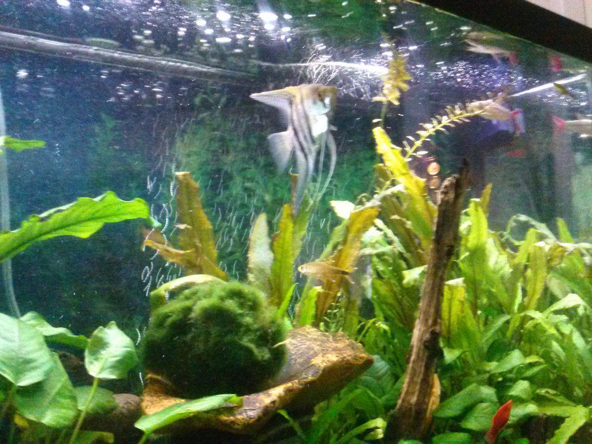 freshwater fish - pterophyllum scalare - half black angelfish stocking in 75 gallons tank - Angel fish