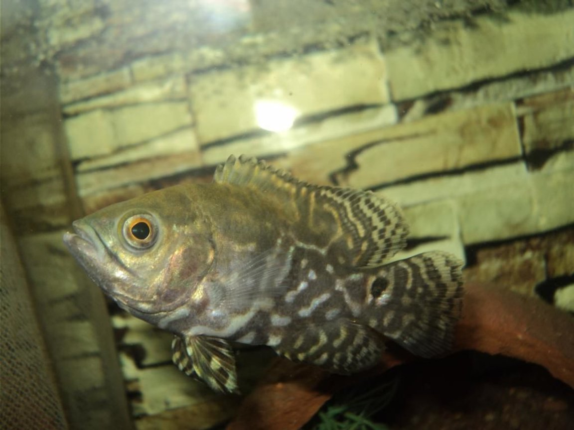 freshwater fish - astronotus ocellatus - leopard oscar stocking in 75 gallons tank - Leopard Oscar