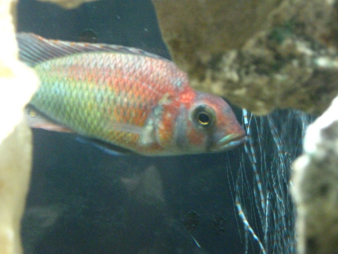 freshwater fish - xystichromis sp. - kyoga flameback stocking in 55 gallons tank - Xystichromis sp. 'Kyoga flameback'
