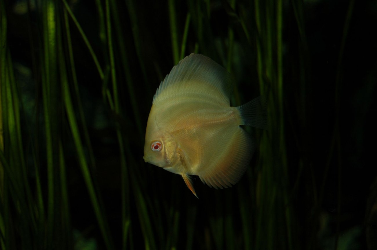 freshwater fish - symphysodon sp. - white discus stocking in 130 gallons tank