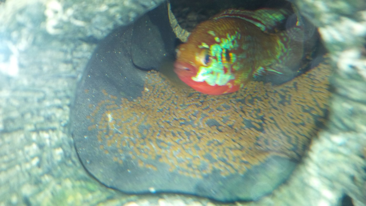 freshwater fish - hemichromis bimaculatus - jewel cichlid stocking in 120 gallons tank - Jewel with her eggs