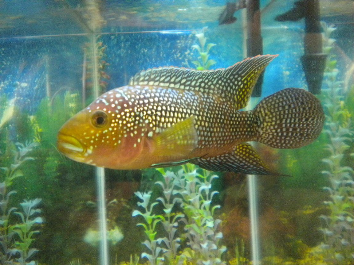 freshwater fish - nandopsis octofasciatum - jack dempsey stocking in 80 gallons tank - Jack Dempsey Cichlid