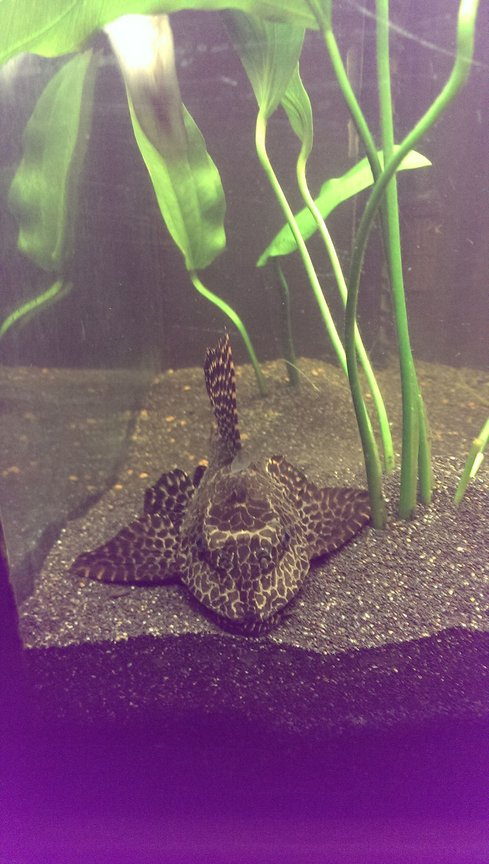 freshwater fish - glyptoperichthys gibbiceps - sailfin pleco (l-83) stocking in 125 gallons tank - Foot long sailfin pleco