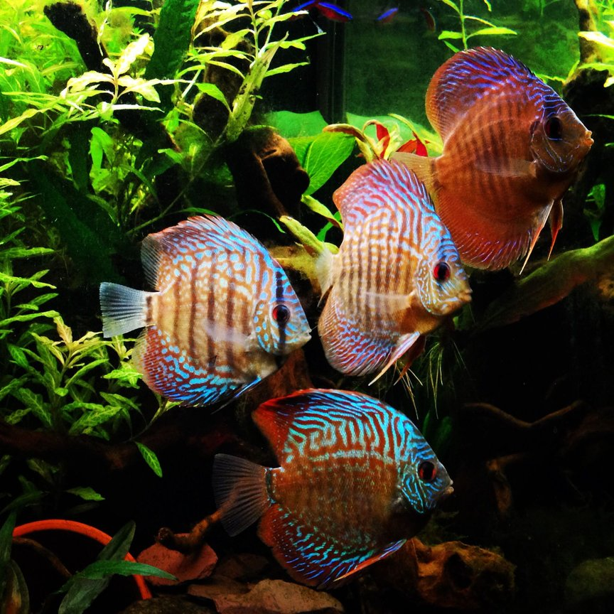 freshwater fish - symphysodon sp. - checkerboard discus stocking in 75 gallons tank - My discus