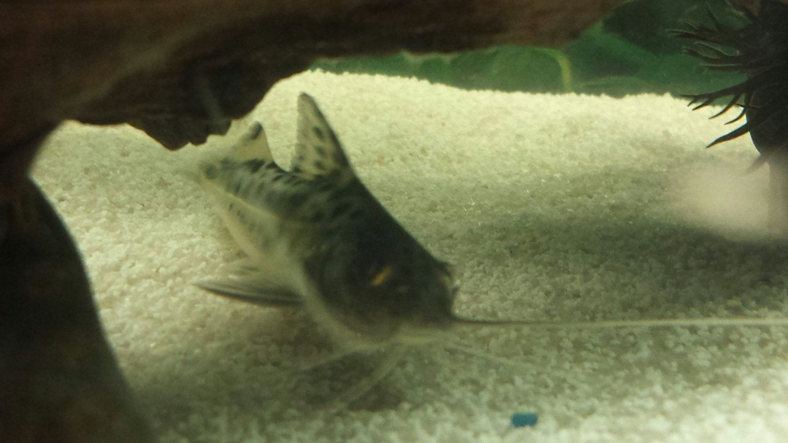 freshwater fish - pimelodus pictus - pictus catfish stocking in 55 gallons tank - Our pictus.