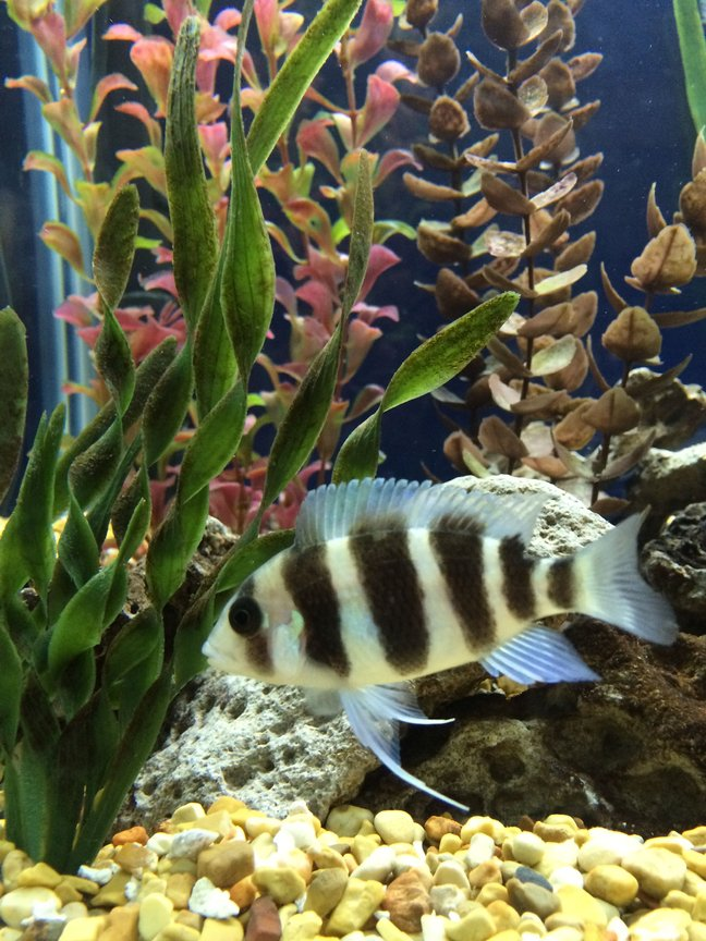 freshwater fish - cyphotilapia frontosa - frontosa cichlid stocking in 75 gallons tank - Young Frontosa