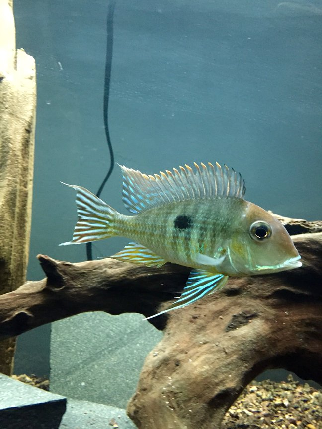 freshwater fish - geophagus surunimsis - surinamen geophagus stocking in 45 gallons tank - Surinamen Geophagus