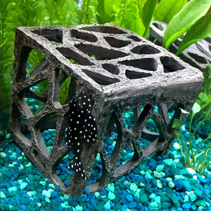 freshwater fish - hypancistrus inspector l-102 - snowball pleco stocking in 15 gallons tank - snowball pleco