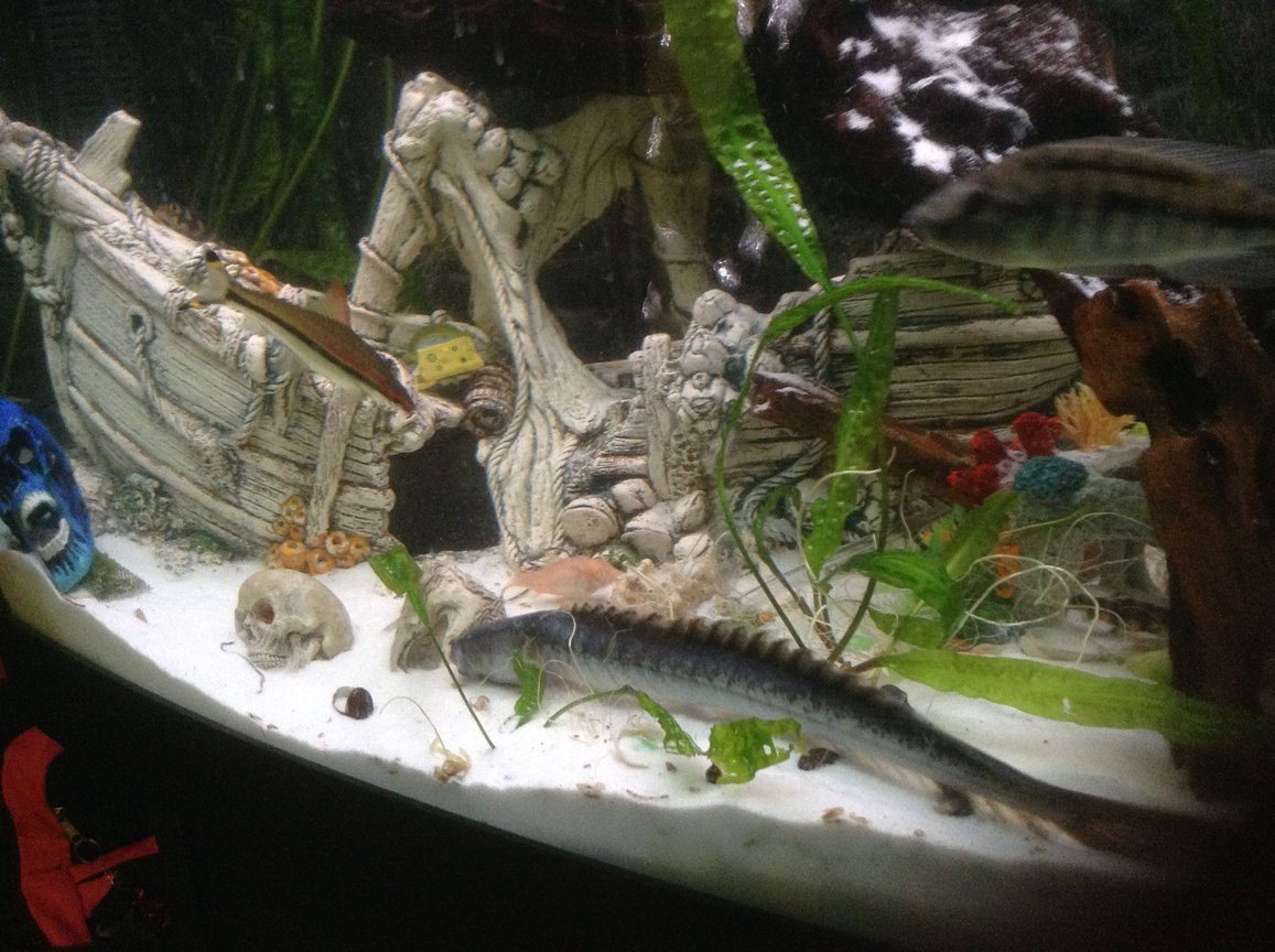 freshwater fish stocking in 400 gallons tank - My dragon goby