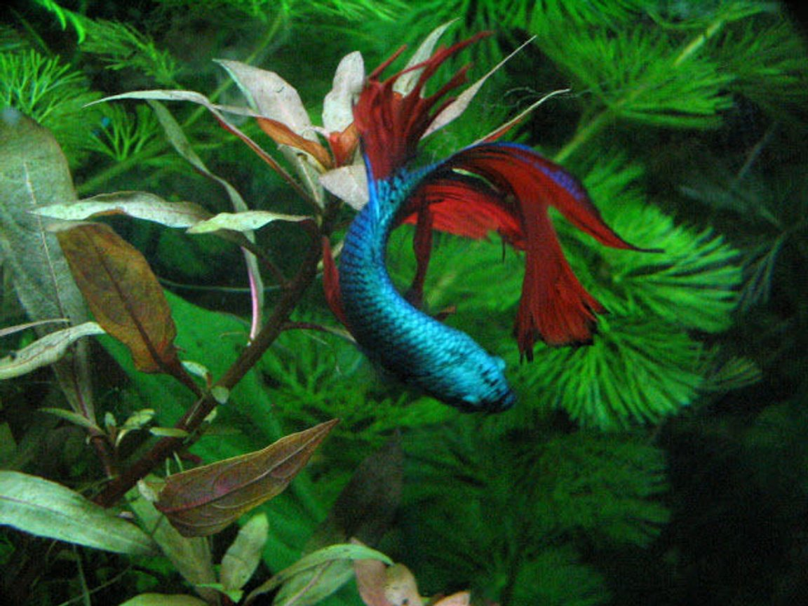 freshwater fish stocking in 125 gallons tank - Betta Splendens In my 20 xhigh planted tank Not just a betta bowl