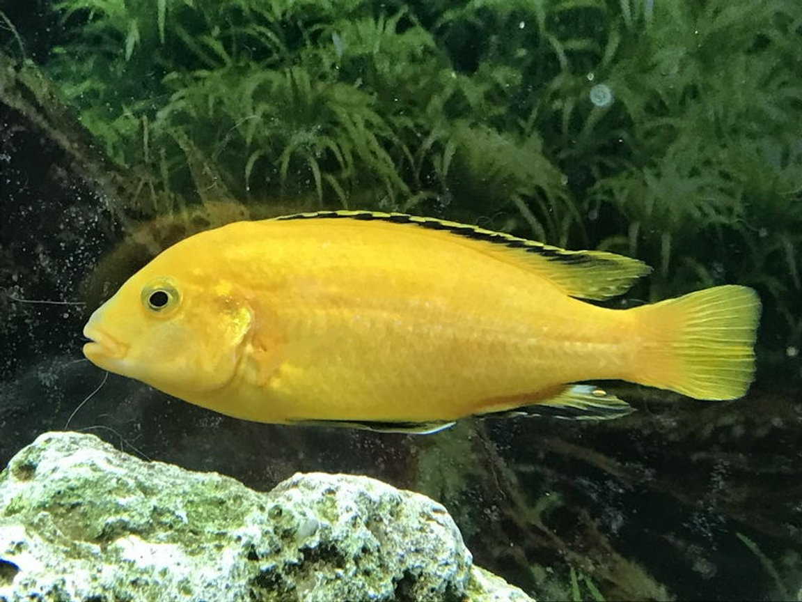 freshwater fish stocking in 60 gallons tank - Electric Yellow Cichlid