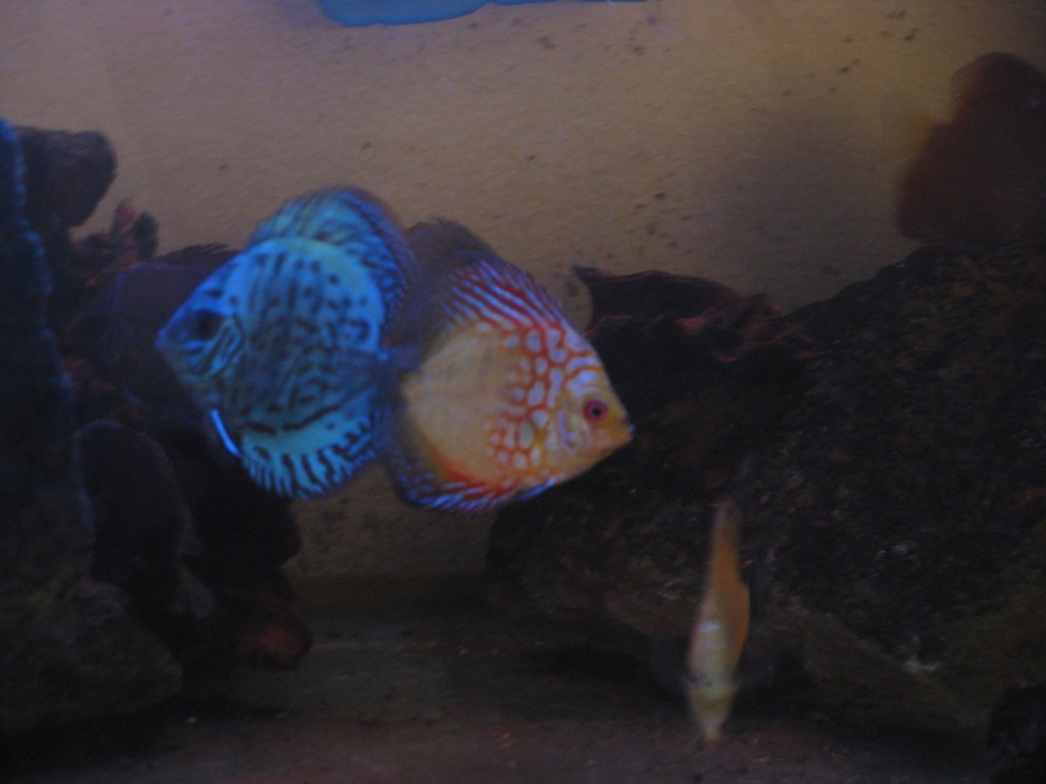 freshwater fish stocking in 180 gallons tank - Discus twins