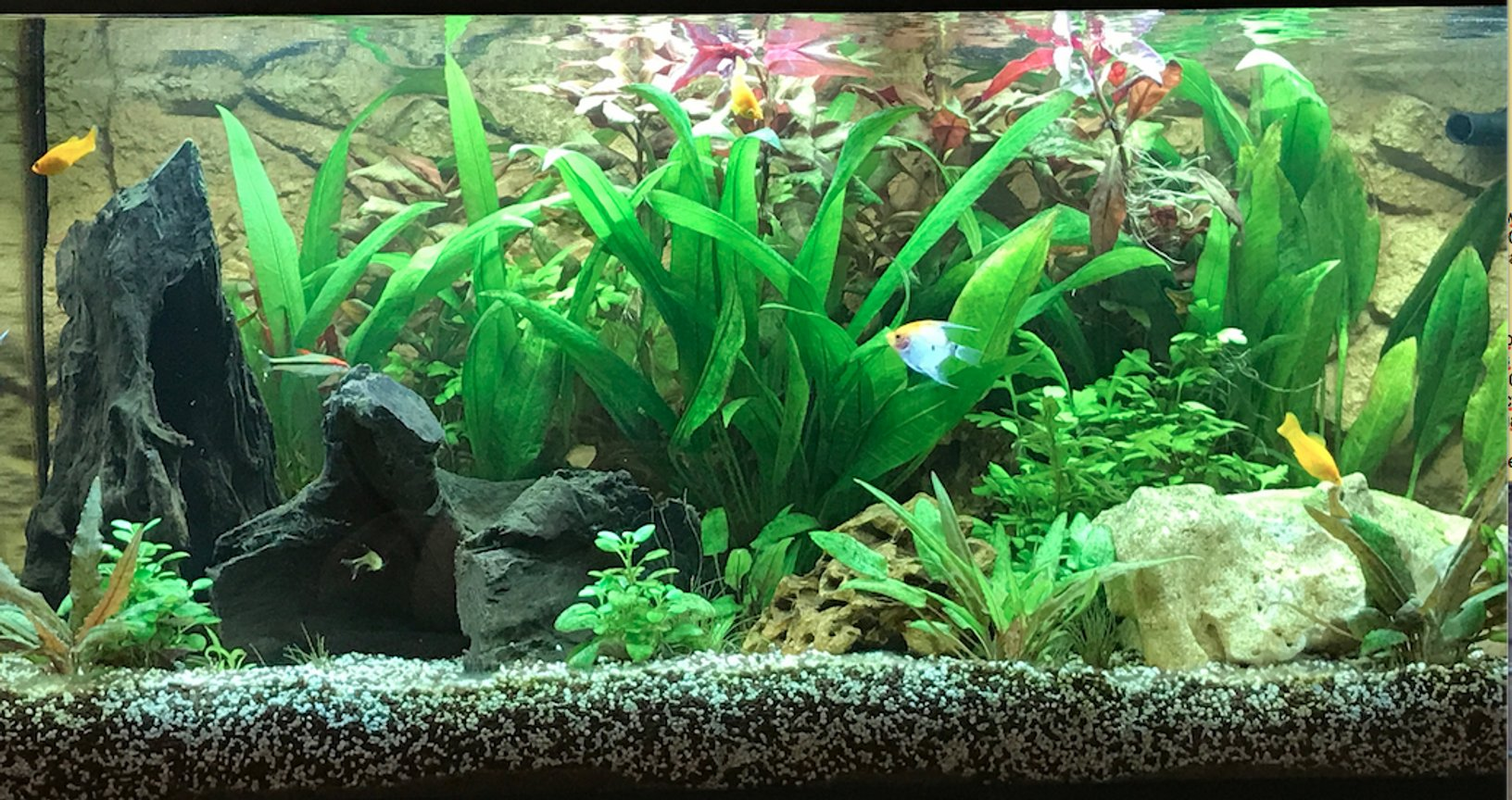 freshwater fish stocking in 180 gallons tank - Planted tank