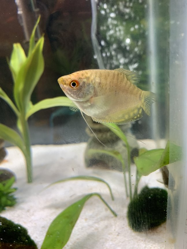 freshwater fish stocking in 29 gallons tank - Three spot gold gourami