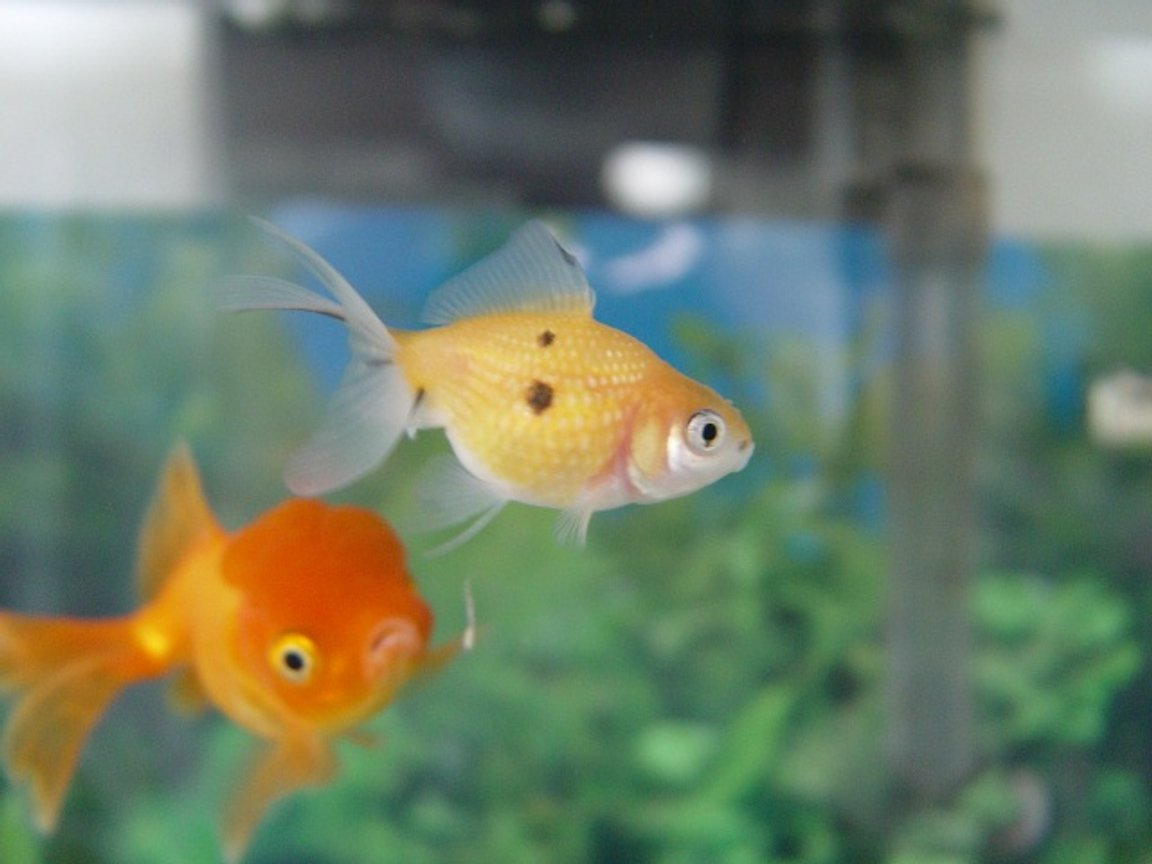 "freshwater fish - carassius auratus - crown pearlscale goldfish stocking in 20 gallons tank - This is why we named our new pearlscale oranda ""Deuce"""