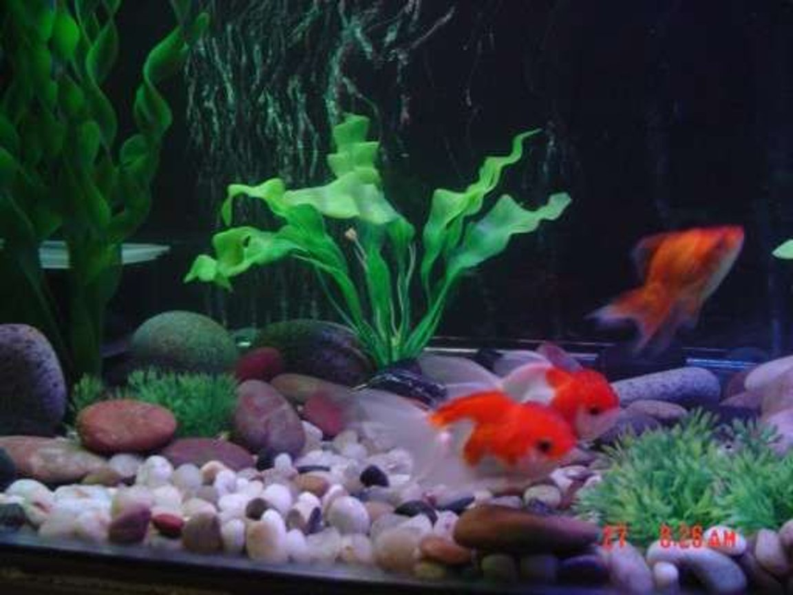 freshwater fish - carassius auratus - red cap oranda goldfish stocking in 30 gallons tank - Oranda goldfish