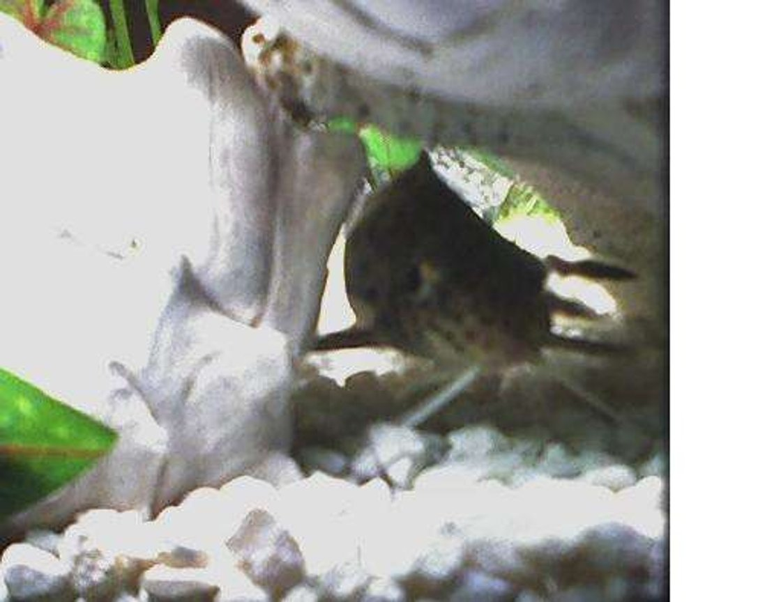 freshwater fish - synodontis nigriventris - upside down cat stocking in 46 gallons tank - Wild Caught Kitty Cat Fish