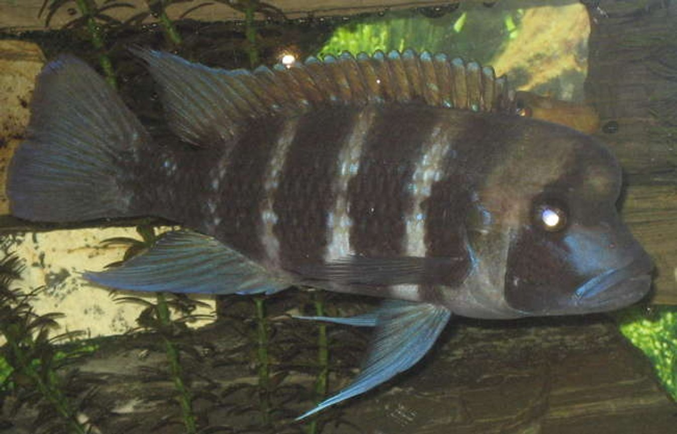 freshwater fish - cyphotilapia frontosa - frontosa cichlid stocking in 90 gallons tank - My frontosa 7""
