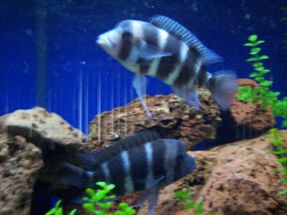 "freshwater fish - cyphotilapia frontosa - frontosa cichlid stocking in 180 gallons tank - two adult frontosa 8"" female and 7"" female"