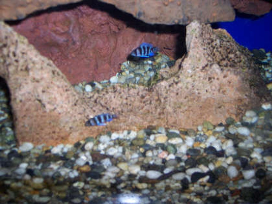"freshwater fish - cyphotilapia frontosa - frontosa cichlid stocking in 60 gallons tank - my baby frontosa, about 3/4"" long"