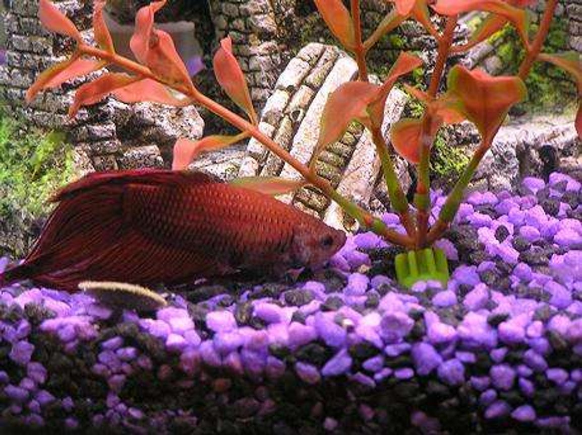 freshwater fish - betta splendens - betta - male stocking in 30 gallons tank - This is Bowser the betta