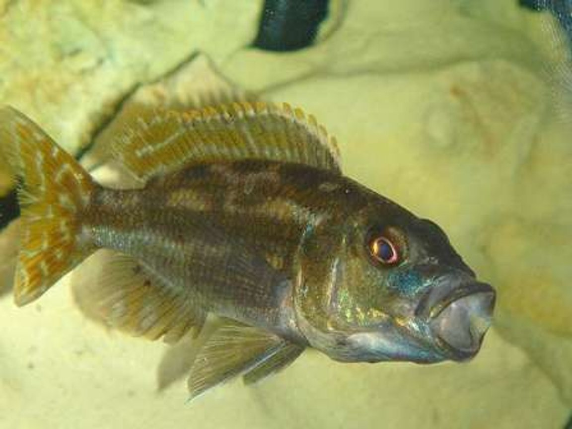 freshwater fish - herotilapia multispinosa - rainbow cichlid stocking in 55 gallons tank - SLEEPPY TOWN!!!