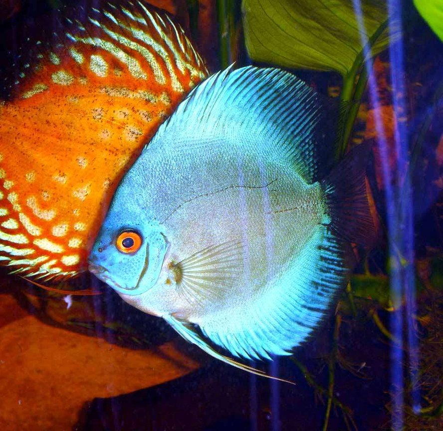 freshwater fish - symphysodon sp. - blue diamond discus stocking in 72 gallons tank - Blue Diamond Discus 4 Inches