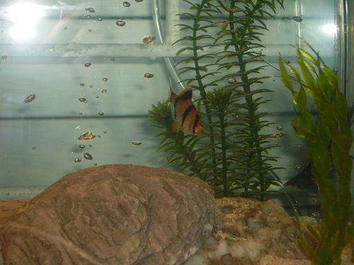 freshwater fish - puntius tetrazona - tiger barb stocking in 10 gallons tank - tiger barb