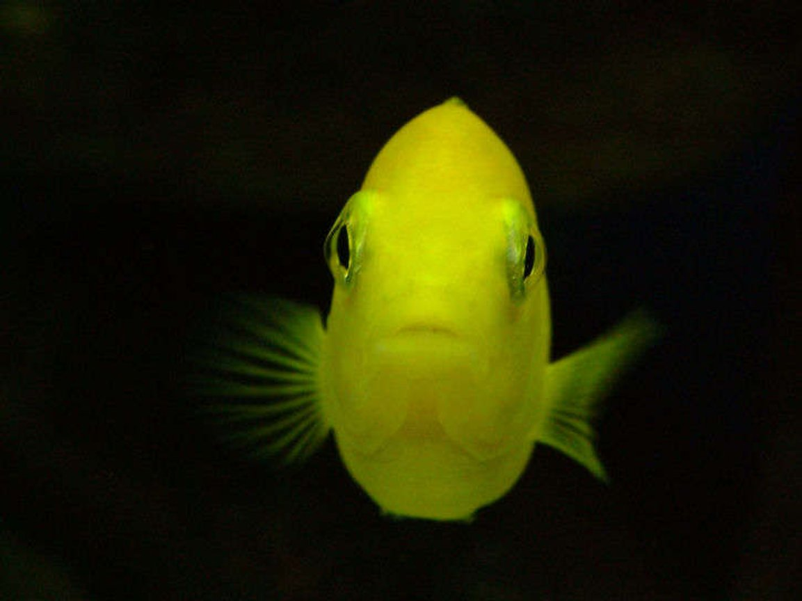 freshwater fish - labidochromis caeruleus - electric yellow cichlid stocking in 50 gallons tank - LabidochromisCaeruleus