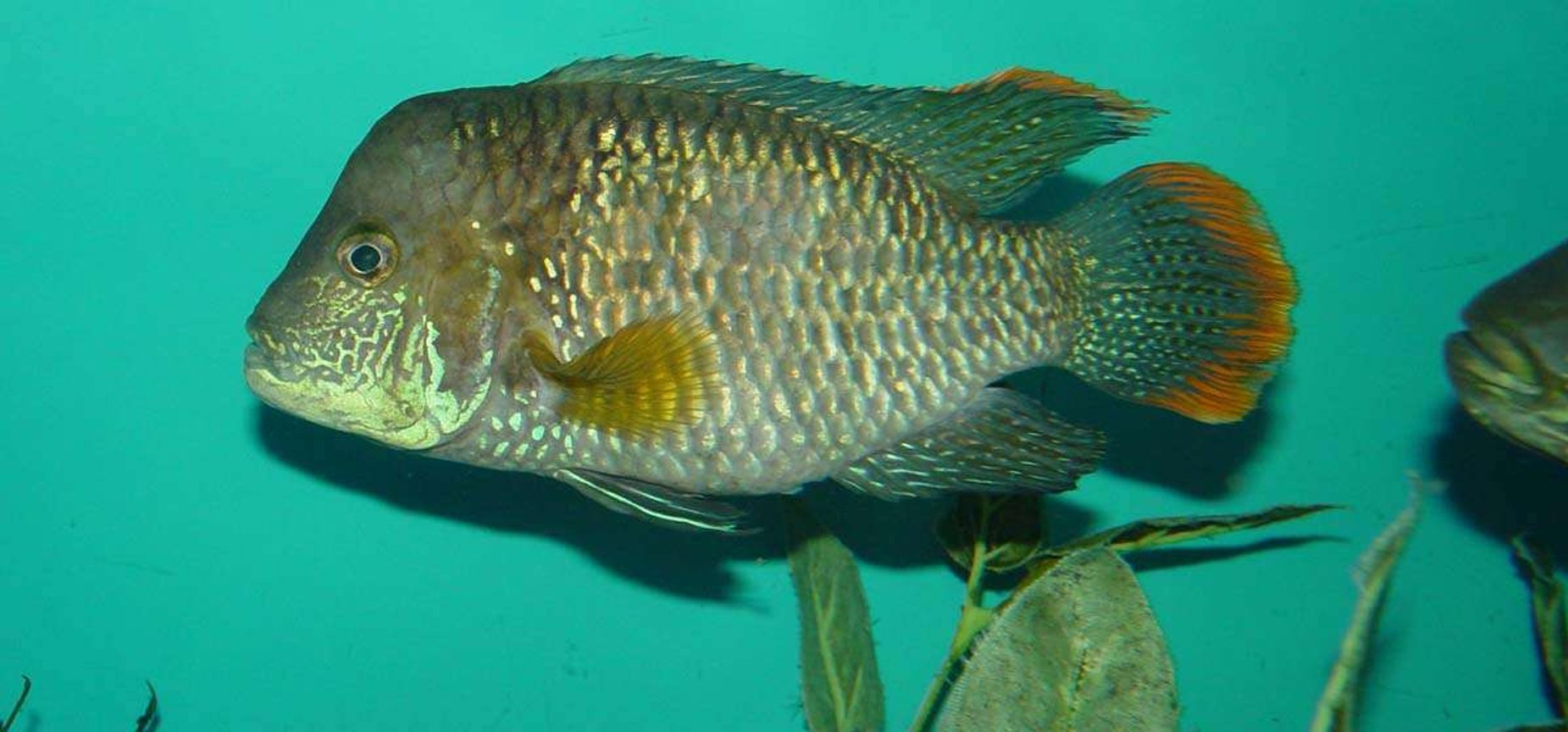 "freshwater fish - aequidens rivulatus - green terror stocking in 150 gallons tank - Green Terror 6"" 5 yrs. old"