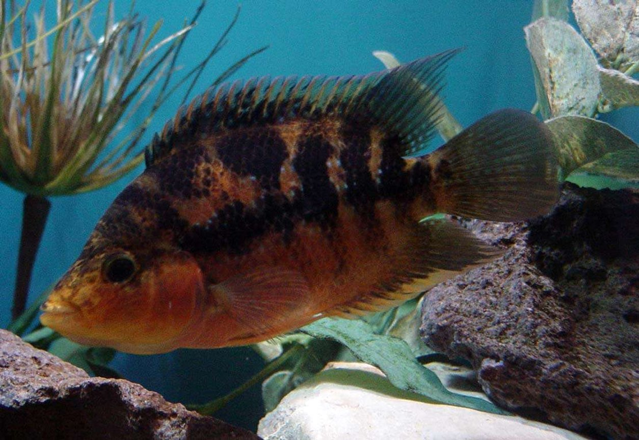 "freshwater fish - herichthys cynoguttatus - texas cichlid stocking in 150 gallons tank - 2nd picture of this hybrid fish. Red Devil/Texas Cross. 4"" long"