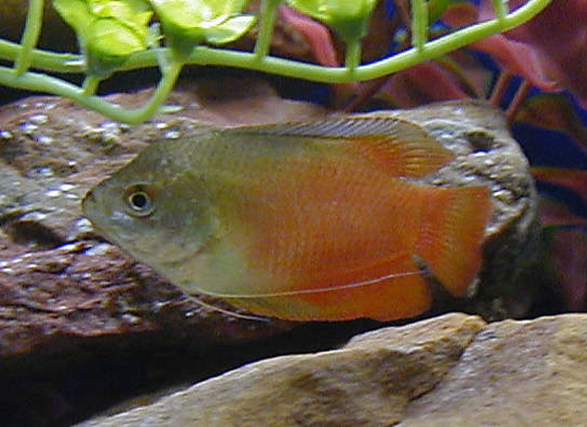 freshwater fish - colisa lalia - flame dwarf gourami stocking in 50 gallons tank - rubyred gourami