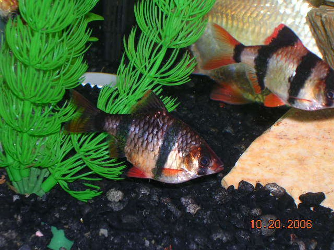 freshwater fish - puntius tetrazona - tiger barb stocking in 20 gallons tank - Tiger barbs