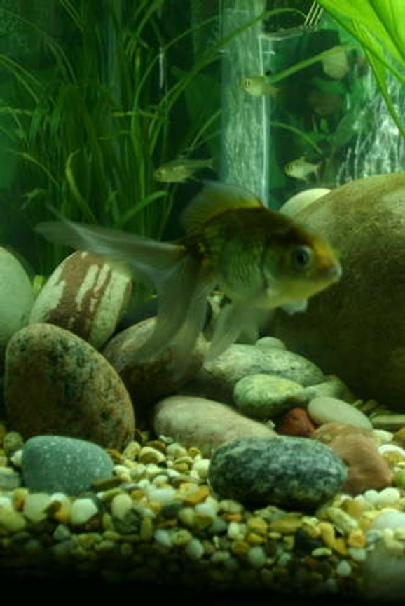 freshwater fish - carassius auratus - ryukin goldfish stocking in 20 gallons tank - Green fantail