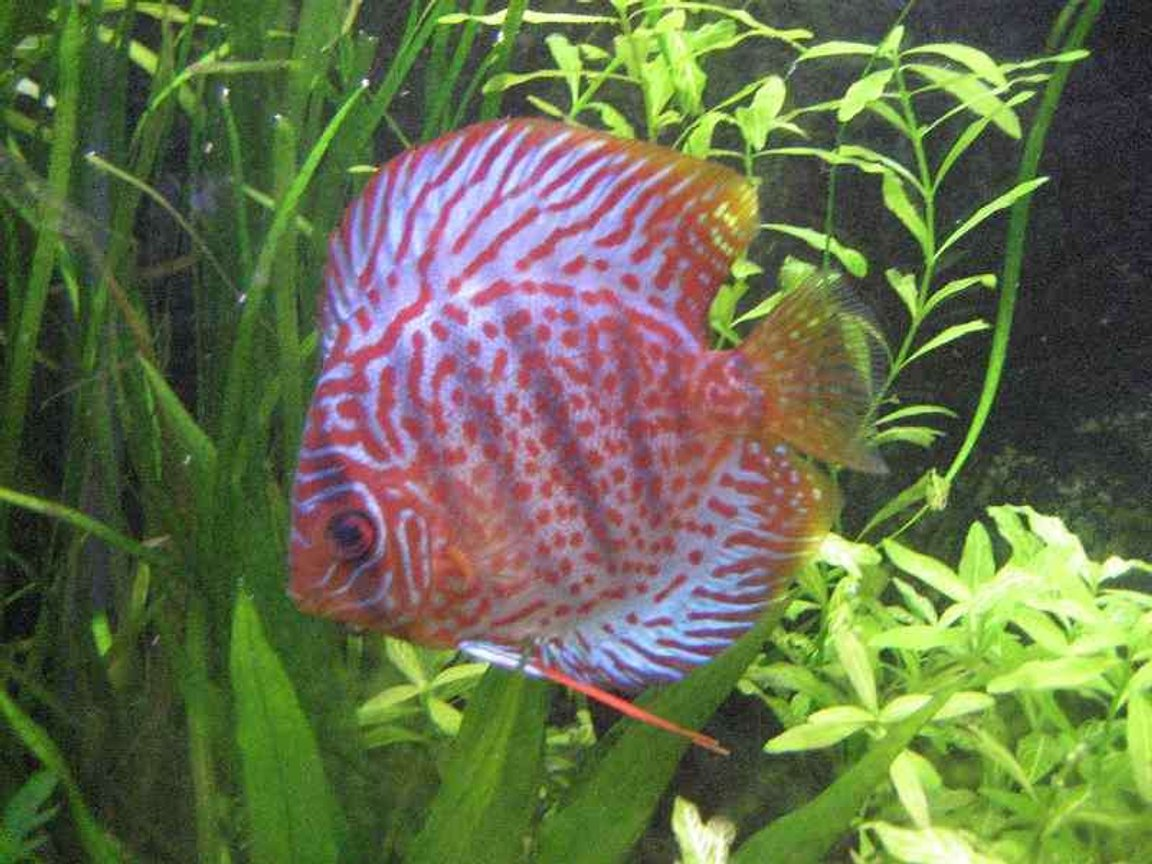 freshwater fish - symphysodon spp. - snakeskin discus stocking in 40 gallons tank - leopard