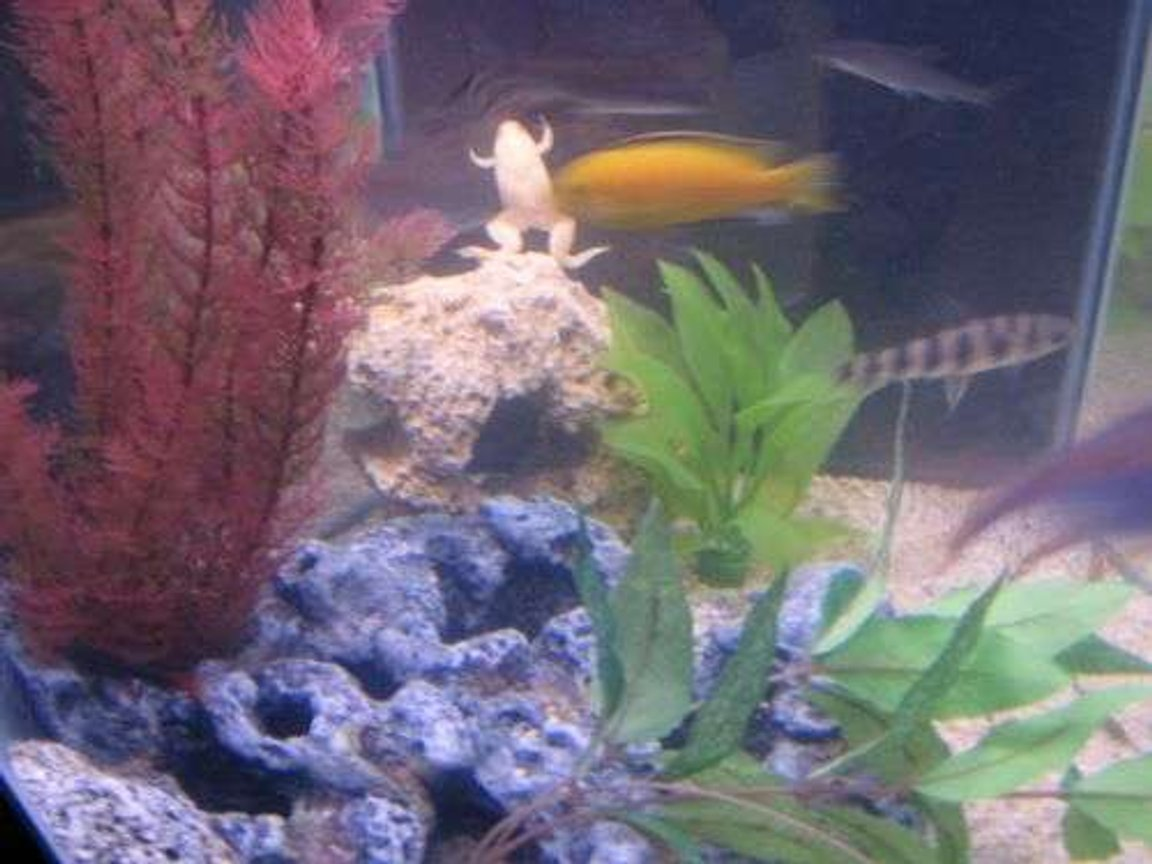 freshwater fish - pseudotropheus estherae - red zebra cichlid stocking in 35 gallons tank - FROG