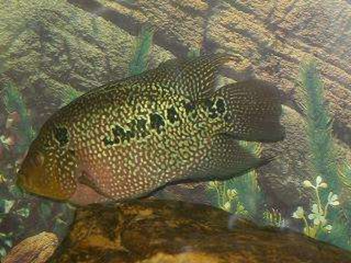 freshwater fish - herichthys carpinte - green texas cichlid stocking in 50 gallons tank - Flowerhorn