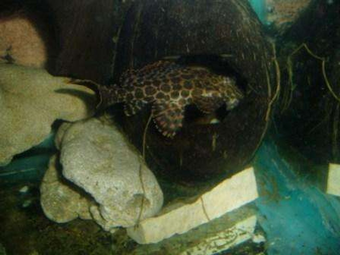 freshwater fish - pseudoacanthicus leopardus - redtail leopard pleco (l-114) stocking in 70 gallons tank - pleco grotte