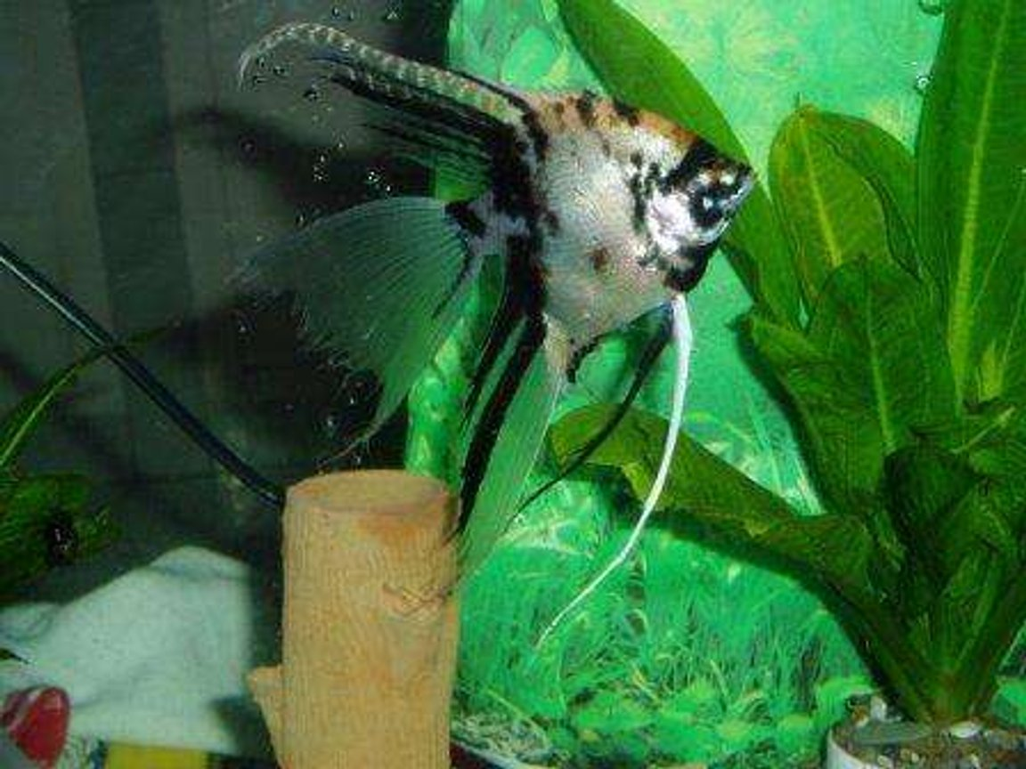 freshwater fish - pterophyllum scalare - assorted veil angel stocking in 70 gallons tank - ANGEL FISH